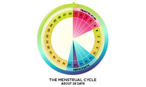 Life Cycle of the Female Menstrual Cycle