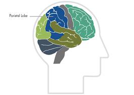 The Parietal Lobe